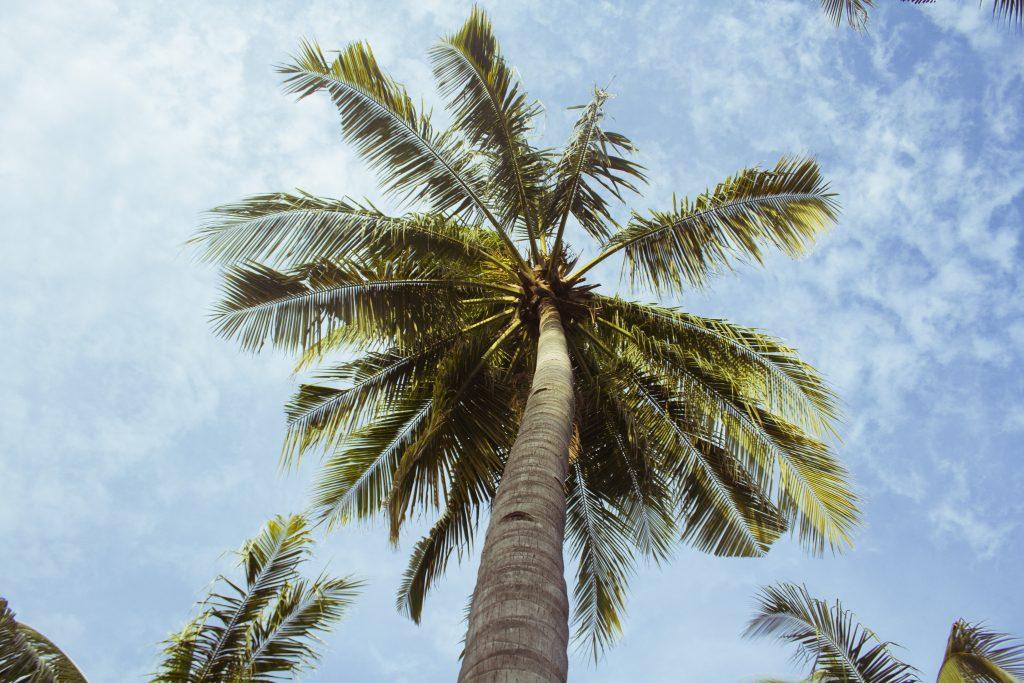 Palmbomen van onder